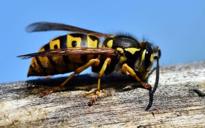 WASP NEST REMOVAL BY EXPERTS IN SANDOWN, THE ISLE OF WIGHT